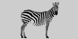 Zebra looking precisely towards the viewers