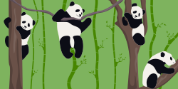 Cute pandas in the nature climbing from one tree to another